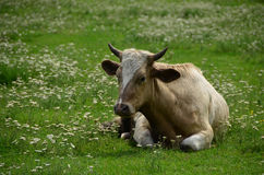 Cow lying down on the meadow Stock Photo