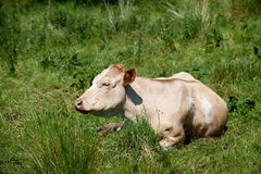 Cow Lying On The Grass Stock Photo