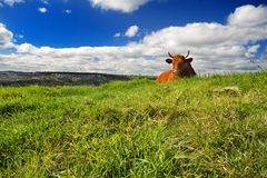 Cow lying on the grass Royalty Free Stock Images