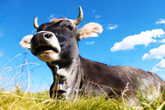 Cow lying on grass. Closeup stock photography