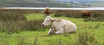 Cow lying on grass Royalty Free Stock Image