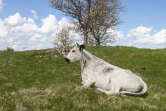 Cow lying in the grass on the meadow Stock Photo