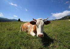 Cow lying on the grass photographed with target fish eye Royalty Free Stock Image