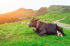 Cow lying grazing on Italian alps Stock Image