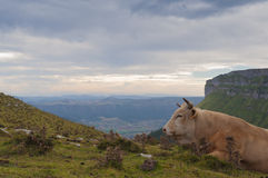 Cow lying in the high mountain pastures Royalty Free Stock Images