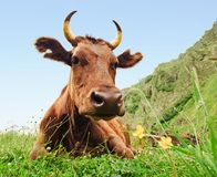 Cow lying on meadow Royalty Free Stock Photos
