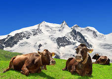 Cow lying on the meadow. In the background of the Monte Rosa -Swiss Alps Stock Images