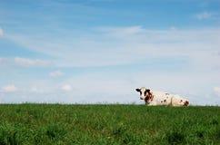 Cow lying on meadow stock image