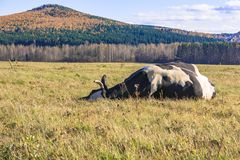 cow is lying on the meadow Royalty Free Stock Photography