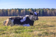 cow is lying on the meadow Stock Photo