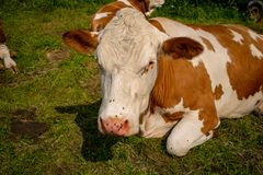 A cow is lying in the meadow and has many flies on its nose. Cow is lying in the meadow and has many flies on its nose stock photography