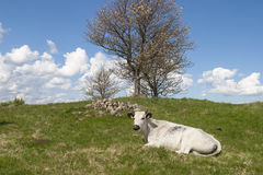 Cow lying on the meadow Royalty Free Stock Images
