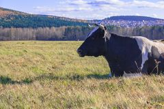 cow is lying on the meadow Stock Image