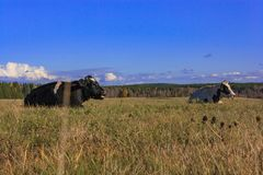 cow is lying on the meadow Royalty Free Stock Photo
