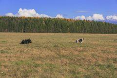 cow is lying on the meadow Stock Photos