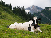 Cow lying on mountain meadow Royalty Free Stock Images