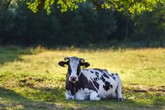Cow lying in the pasture on a summer sunny day. Cow lying in the pasture on a summer sunny day stock photo