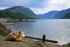 Cow lying on the shore of Teletskoye Lake, Altai, Russia Royalty Free Stock Photography