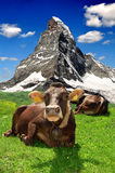 Cow lying in the Swiss Alps. Cow lying in the meadow.In the background of the Matterhorn-Swiss Alps Royalty Free Stock Photos