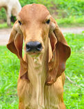Cow. Macro a Cow eating grass Stock Photo