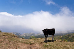Cow on madeira Stock Photos