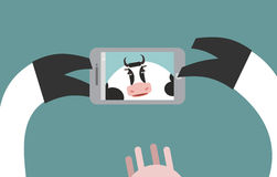 Cow makes selfie. Farm Animal clicks on a Smartphone. Royalty Free Stock Photography