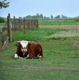 Cow male lying on the grass royalty free stock photo