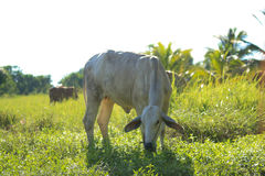 Cow. Mammal, Animals, Cow eating grass, Thailand, Green meadow Stock Photo