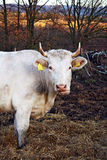 Cow in manure. A white cow in manure royalty free stock photo
