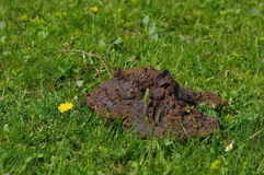 Cow manure. Close up of fresh cow manure with little wild flowers on meadow Royalty Free Stock Photography