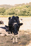Cow with many flies on head Stock Images