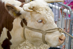 Cow on marketplace stock image