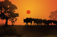 Cow masses with the evening. Countryside location Royalty Free Stock Photo