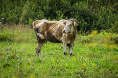 The cow in the meadow. Stock Photos