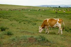 Cow on a meadow. The cow with brown-white stains is grazed against a landscape stock photography