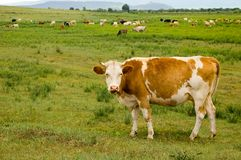 Cow on a meadow. The cow with brown-white stains costs against a landscape stock photos