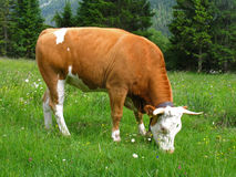 Cow on a meadow. A grazing cow on a meadow Stock Photo