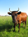 Cow at the meadow Royalty Free Stock Photography