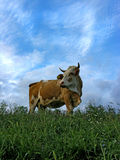 Cow on meadow. With clouds Stock Photos