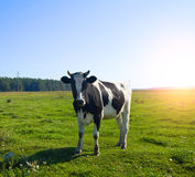 Cow on meadow Stock Images