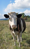 Cow is on meadow Royalty Free Stock Photography