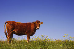 Cow in a meadow Stock Photo