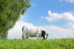 Cow on the meadow Stock Photo