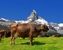 Cow in the meadow. In the background of the Matterhorn-Swiss Alps Royalty Free Stock Photography