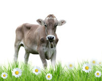 Cow on a meadow Royalty Free Stock Photos