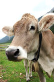 Cow on a meadow Royalty Free Stock Photo