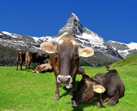 Cow in the meadow. In the background of the Matterhorn-Swiss Alps Royalty Free Stock Photo
