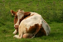 Cow in a meadow Stock Image