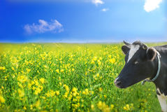 Cow on the meadow. Cow and the rape field as background Stock Photo