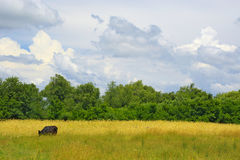 Cow on a meadow. A black cow on a solar meadow Stock Image